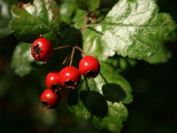Alıç şifalı bitkiler