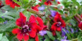 Karanfil – Şifalı Bitkiler