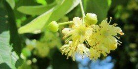Ihlamur – Şifalı Bitkiler