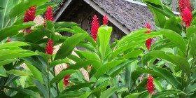 Zencefil – Şifalı Bitkiler